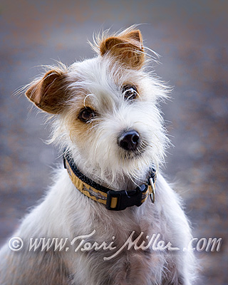 Tully the Jack Russell