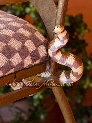Designer Snake 2