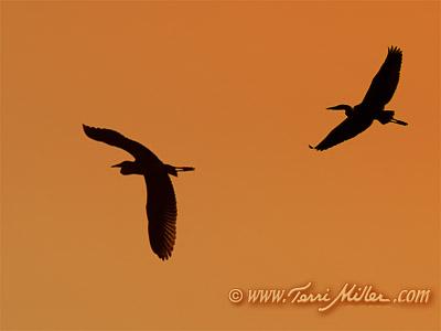 Evening Herons