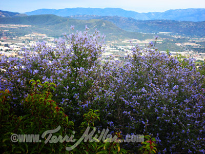 California lilacs