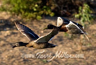 Tinto's ducks