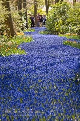 A river of grape hyacinths. Yes, I saw the tourists at the other end. They probably wanted me to move too.