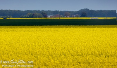 I know it's just rape seed, but the endless fields of it are beautiful!
