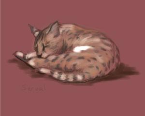 Sleeping Serval